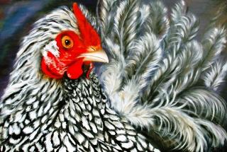 Zwart witte kip